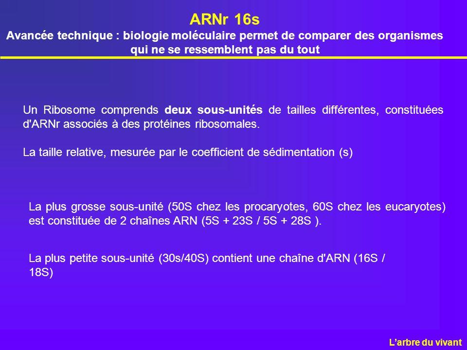 ARNr 16s Avancée technique : biologie moléculaire permet de comparer des organismes qui ne se ressemblent pas du tout Un Ribosome comprends deux sous-