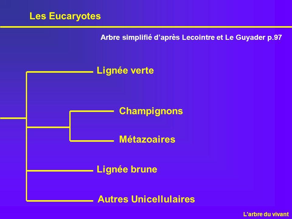 Les Eucaryotes Lignée verte Champignons Métazoaires Lignée brune Autres Unicellulaires Arbre simplifié daprès Lecointre et Le Guyader p.97 Larbre du v