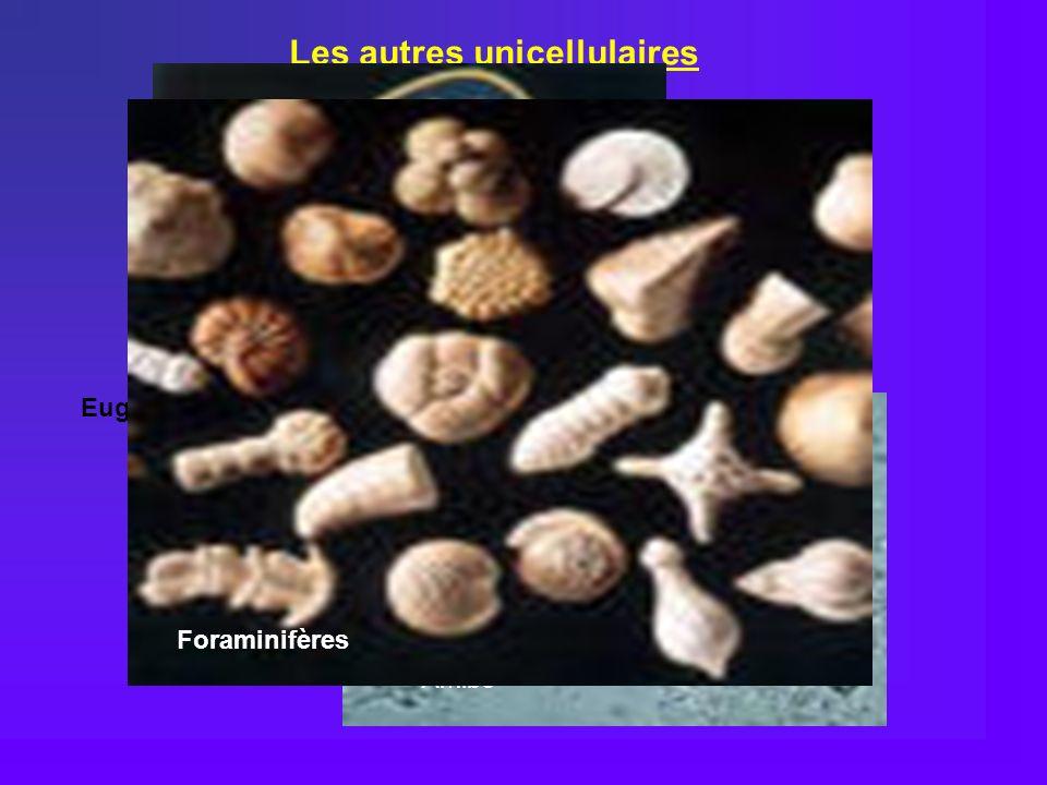 Les autres unicellulaires Amibe Cilié : Paramécie Euglène : Flagellés Foraminifères