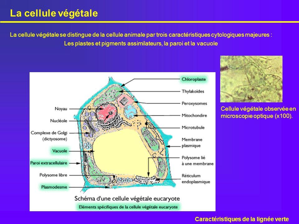 La cellule végétale se distingue de la cellule animale par trois caractéristiques cytologiques majeures : Les plastes et pigments assimilateurs, la pa