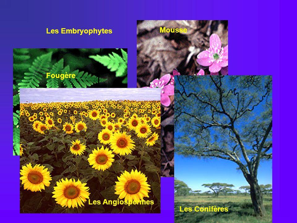 Fougère Mousse Hepatica Les Embryophytes Les Conifères Les Angiospermes