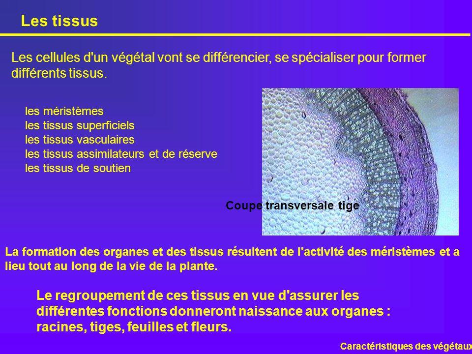 Les tissus Les cellules d'un végétal vont se différencier, se spécialiser pour former différents tissus. Coupe transversale tige les méristèmes les ti