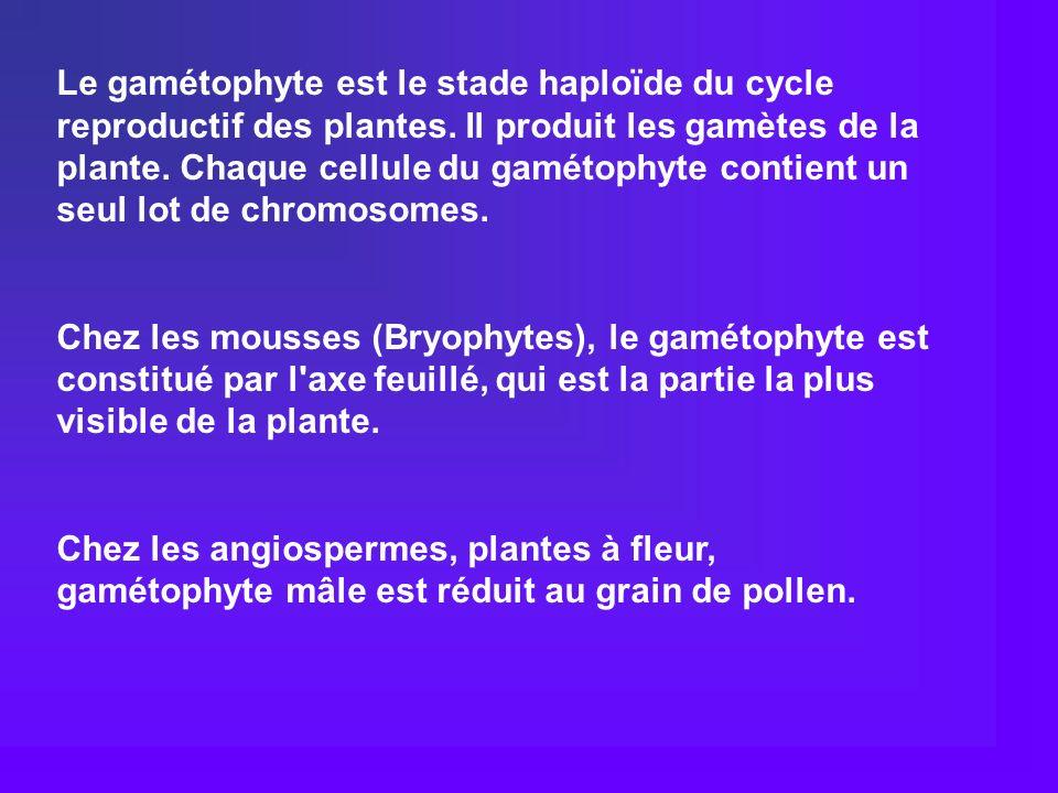 Le gamétophyte est le stade haploïde du cycle reproductif des plantes. Il produit les gamètes de la plante. Chaque cellule du gamétophyte contient un