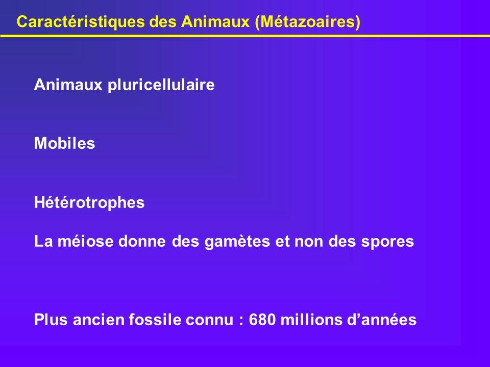 Caractéristiques des Animaux (Métazoaires) Animaux pluricellulaire Mobiles Hétérotrophes La méiose donne des gamètes et non des spores Plus ancien fos