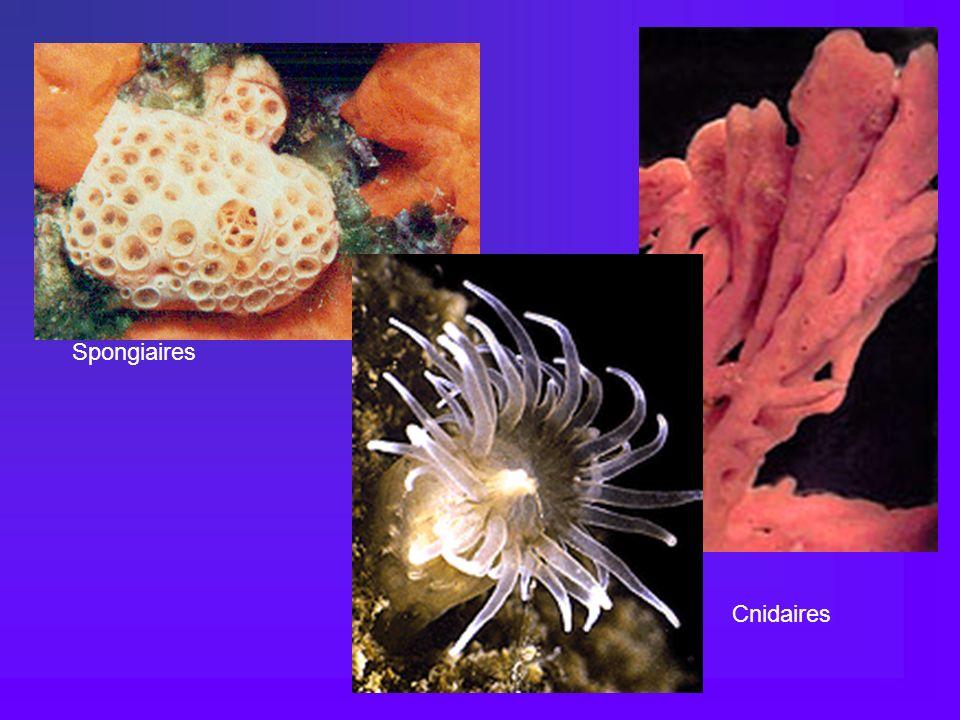Spongiaires Cnidaires