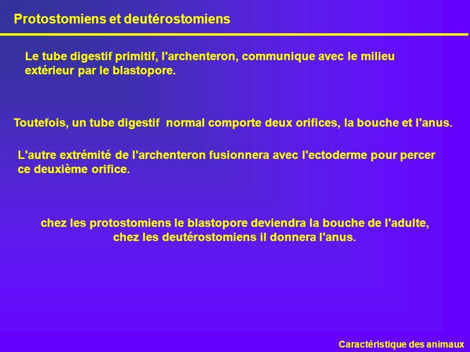 chez les protostomiens le blastopore deviendra la bouche de l'adulte, chez les deutérostomiens il donnera l'anus. Protostomiens et deutérostomiens Car
