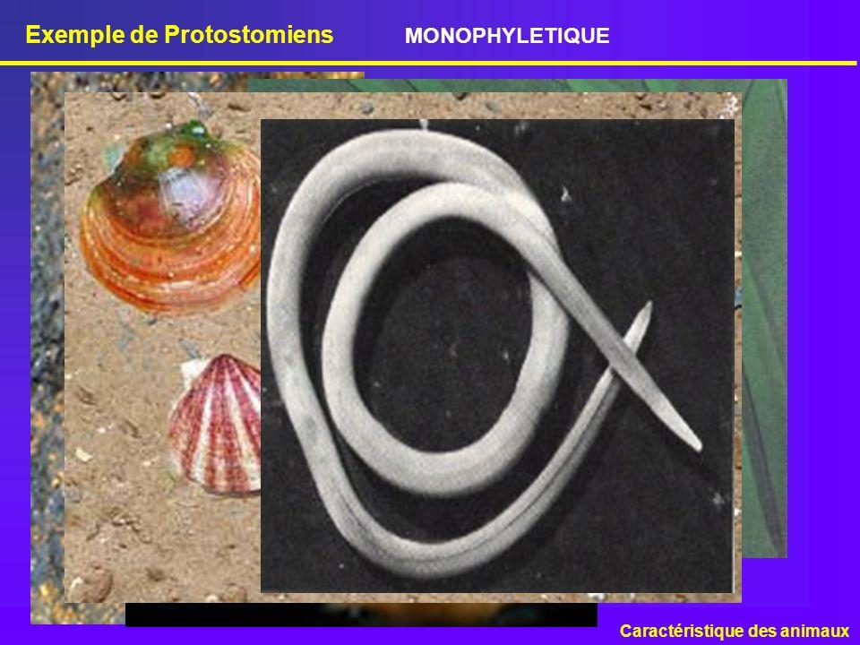 Exemple de Protostomiens Caractéristique des animaux MONOPHYLETIQUE