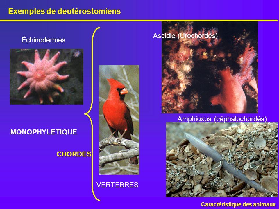 Exemples de deutérostomiens Caractéristique des animaux Ascidie (Urochordés) Échinodermes CHORDES Amphioxus (céphalochordés) VERTEBRES MONOPHYLETIQUE