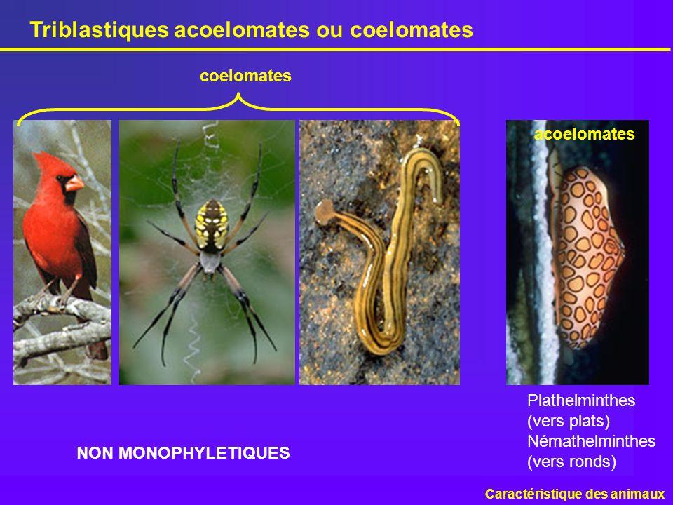 Triblastiques acoelomates ou coelomates Caractéristique des animaux Plathelminthes (vers plats) Némathelminthes (vers ronds) acoelomates coelomates NO