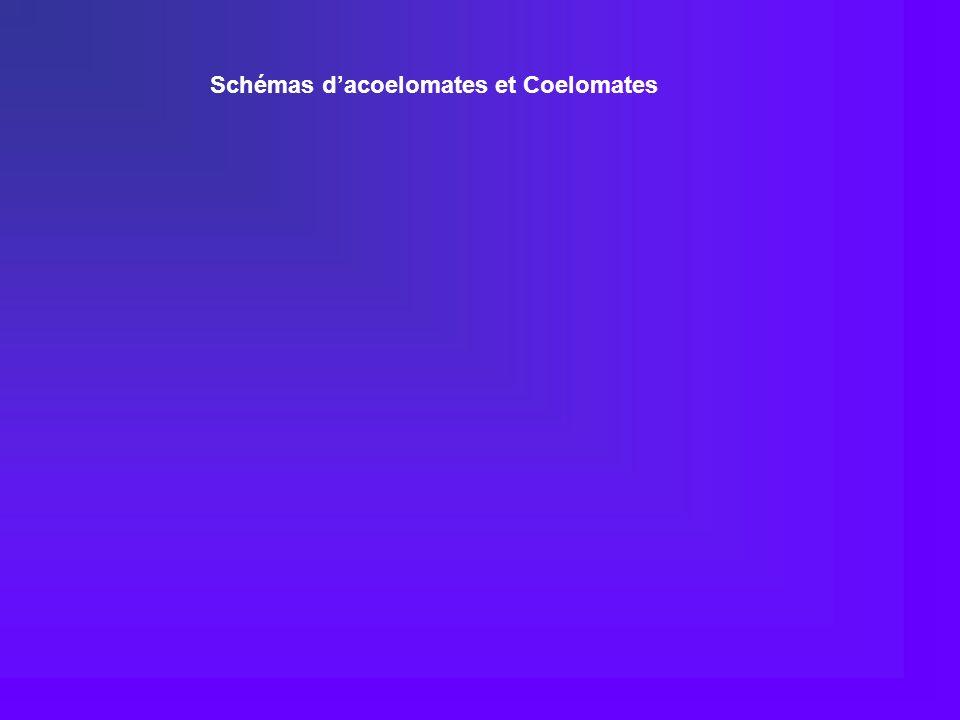 Schémas dacoelomates et Coelomates