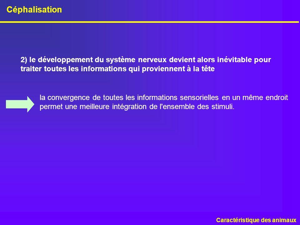 Céphalisation Caractéristique des animaux 2) le développement du système nerveux devient alors inévitable pour traiter toutes les informations qui pro