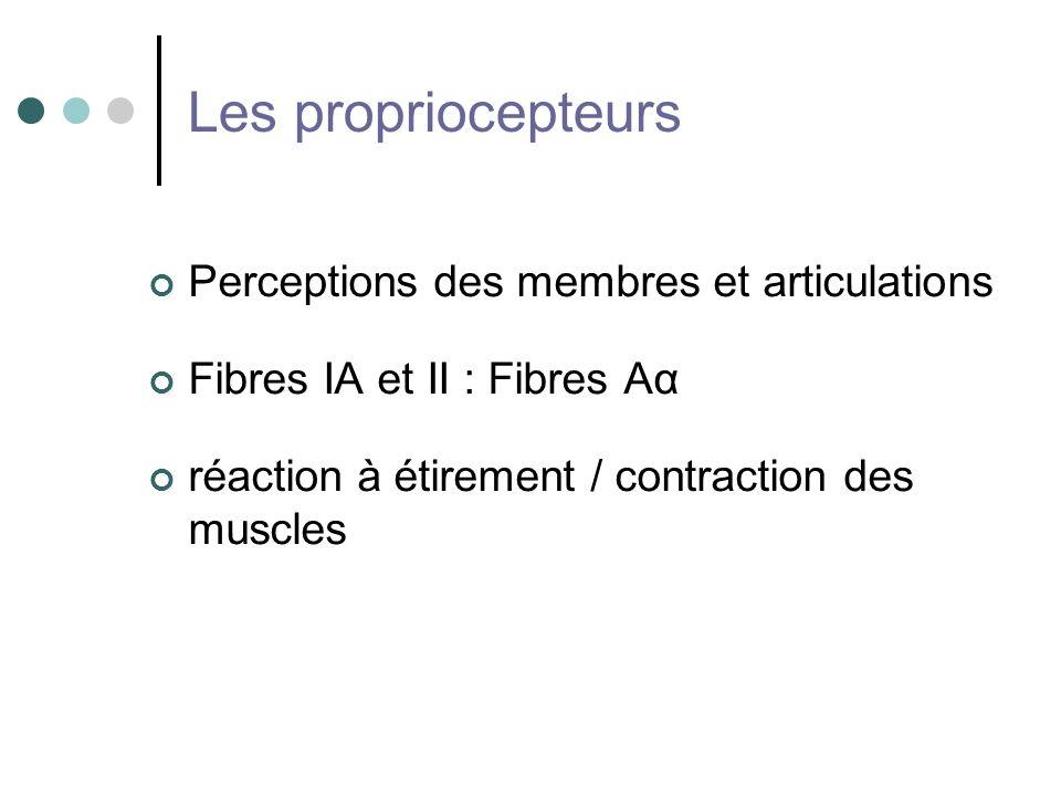 Les propriocepteurs Perceptions des membres et articulations Fibres IA et II : Fibres Aα réaction à étirement / contraction des muscles