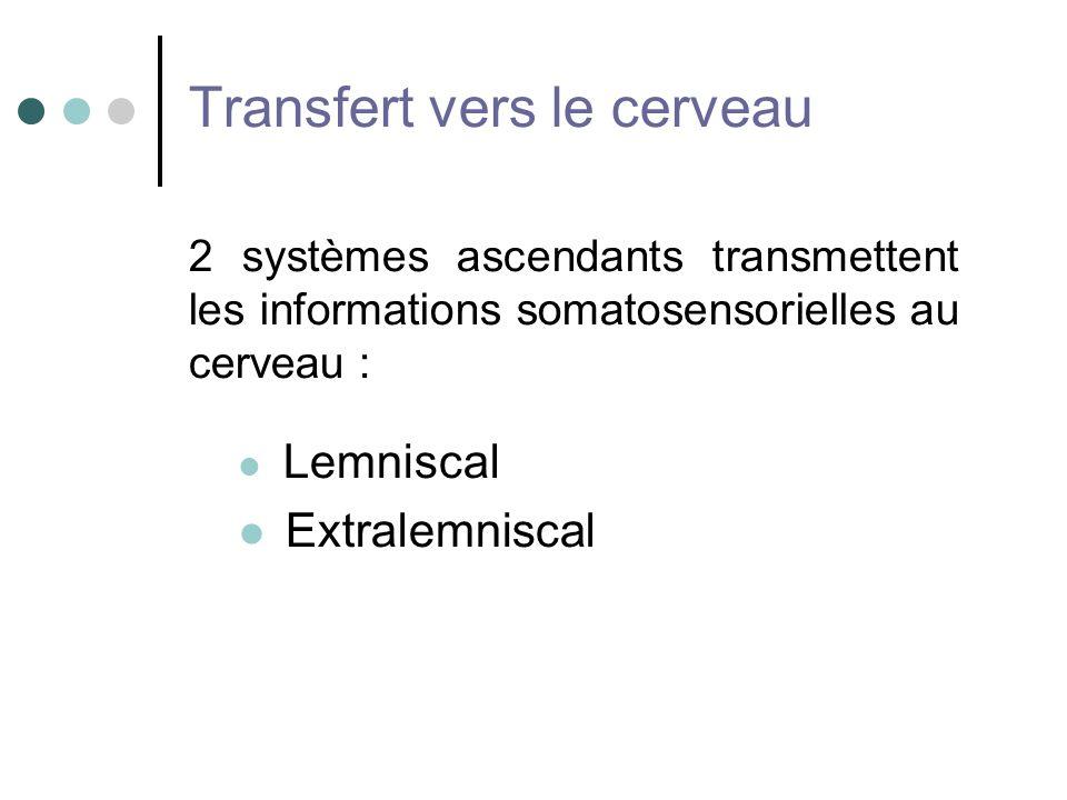 Transfert vers le cerveau 2 systèmes ascendants transmettent les informations somatosensorielles au cerveau : Lemniscal Extralemniscal