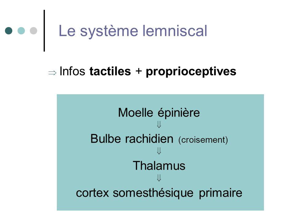 Le système lemniscal Infos tactiles + proprioceptives Moelle épinière Bulbe rachidien (croisement) Thalamus cortex somesthésique primaire