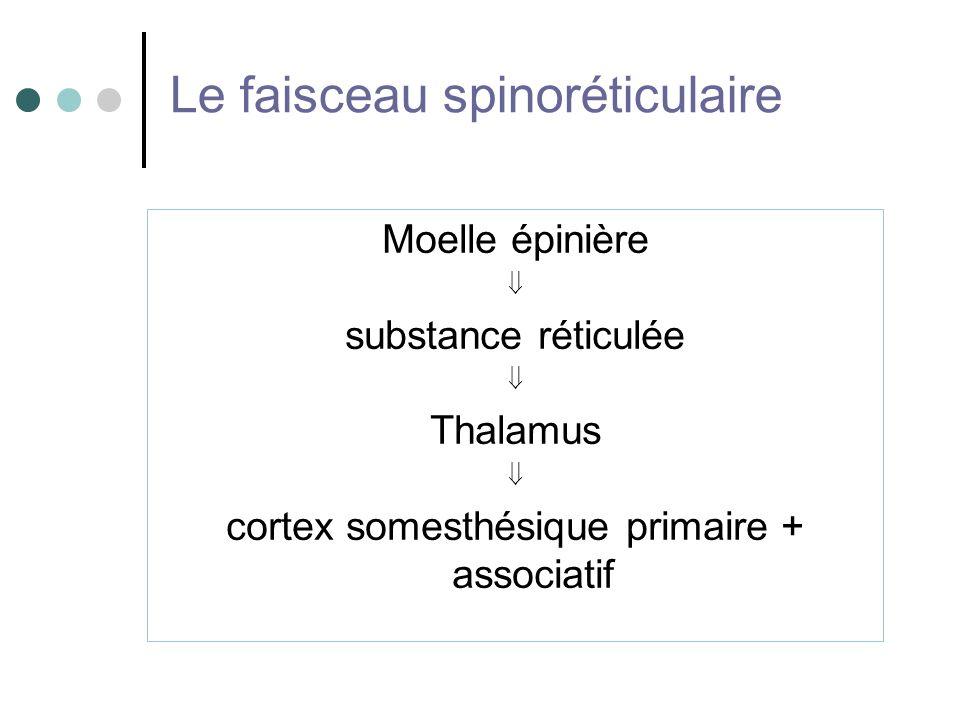 Le faisceau spinoréticulaire Moelle épinière substance réticulée Thalamus cortex somesthésique primaire + associatif