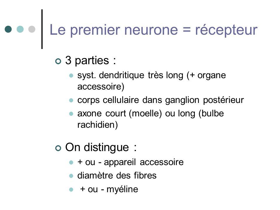 Le premier neurone = récepteur 3 parties : syst. dendritique très long (+ organe accessoire) corps cellulaire dans ganglion postérieur axone court (mo