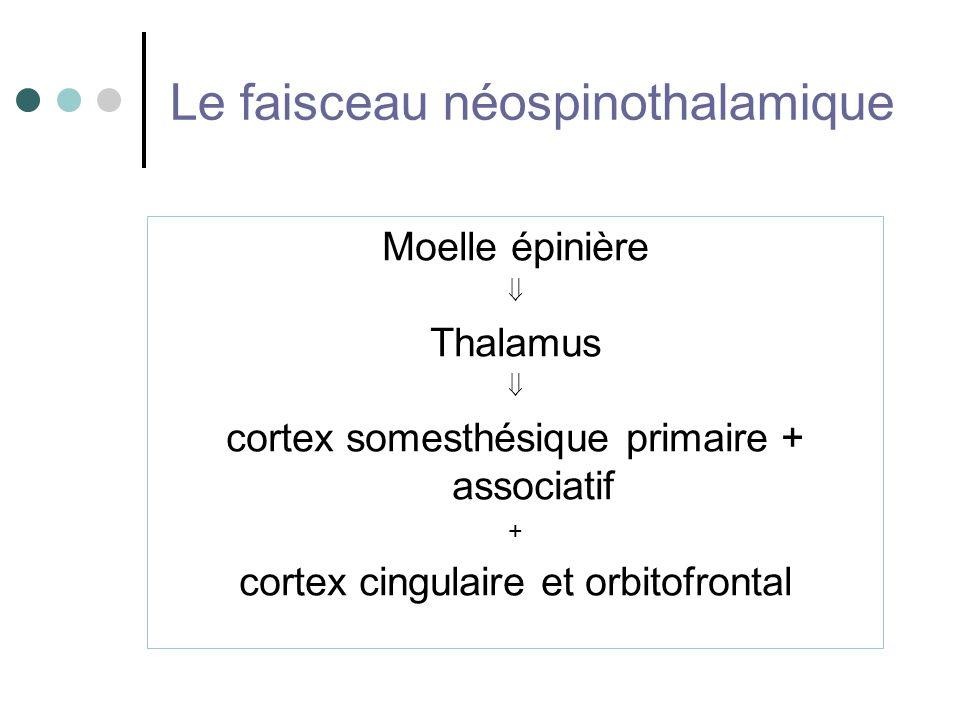 Le faisceau néospinothalamique Moelle épinière Thalamus cortex somesthésique primaire + associatif + cortex cingulaire et orbitofrontal
