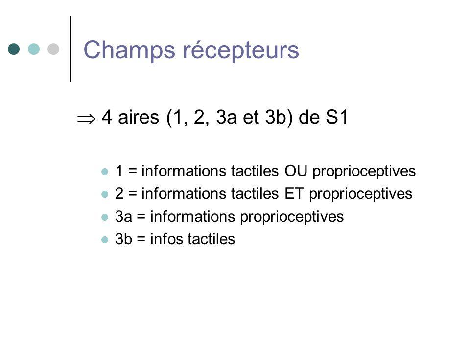 Champs récepteurs 4 aires (1, 2, 3a et 3b) de S1 1 = informations tactiles OU proprioceptives 2 = informations tactiles ET proprioceptives 3a = inform