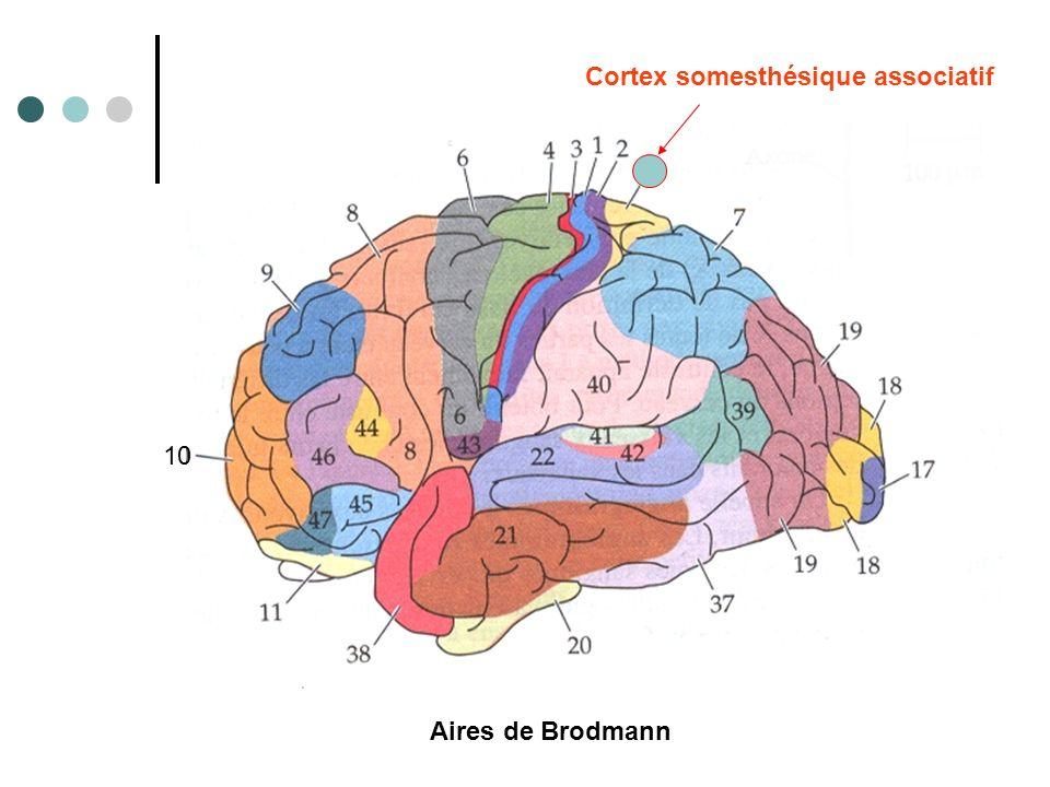 10 Cortex somesthésique associatif Aires de Brodmann