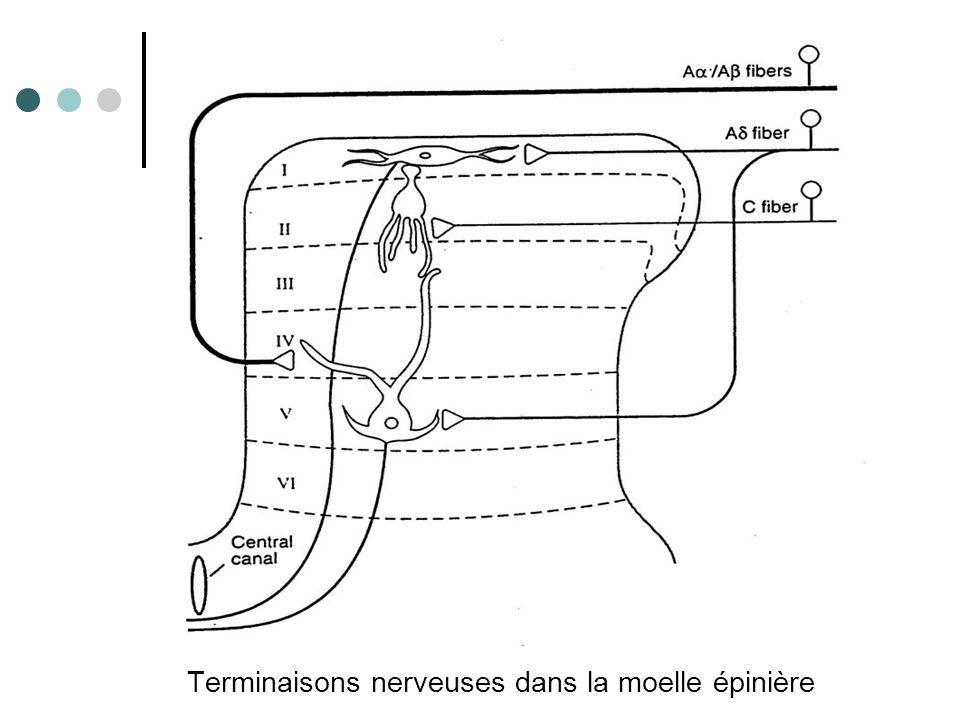 Terminaisons nerveuses dans la moelle épinière