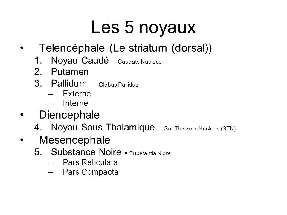 Les 5 noyaux Telencéphale (Le striatum (dorsal)) 1.Noyau Caudé = Caudate Nucleus 2.Putamen 3.Pallidum = Globus Pallidus –Externe –Interne Diencephale