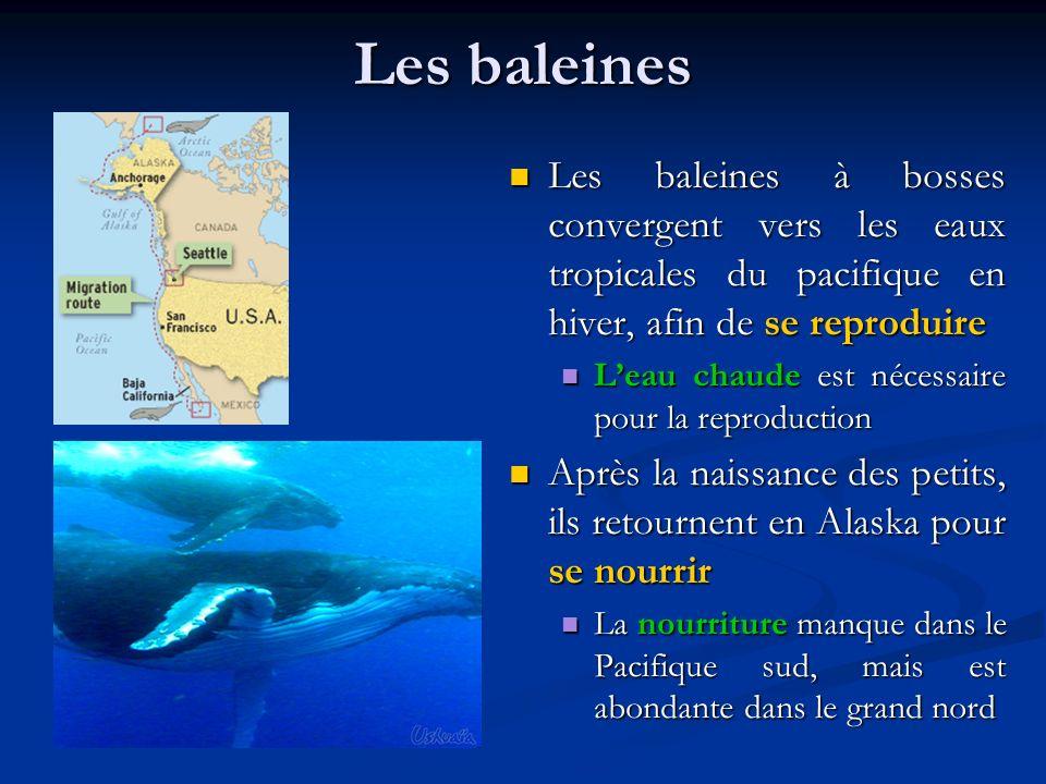 Les baleines Les baleines à bosses convergent vers les eaux tropicales du pacifique en hiver, afin de se reproduire Leau chaude est nécessaire pour la