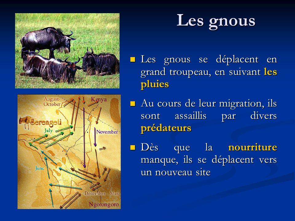 Les gnous Les gnous se déplacent en grand troupeau, en suivant les pluies Au cours de leur migration, ils sont assaillis par divers prédateurs Dès que