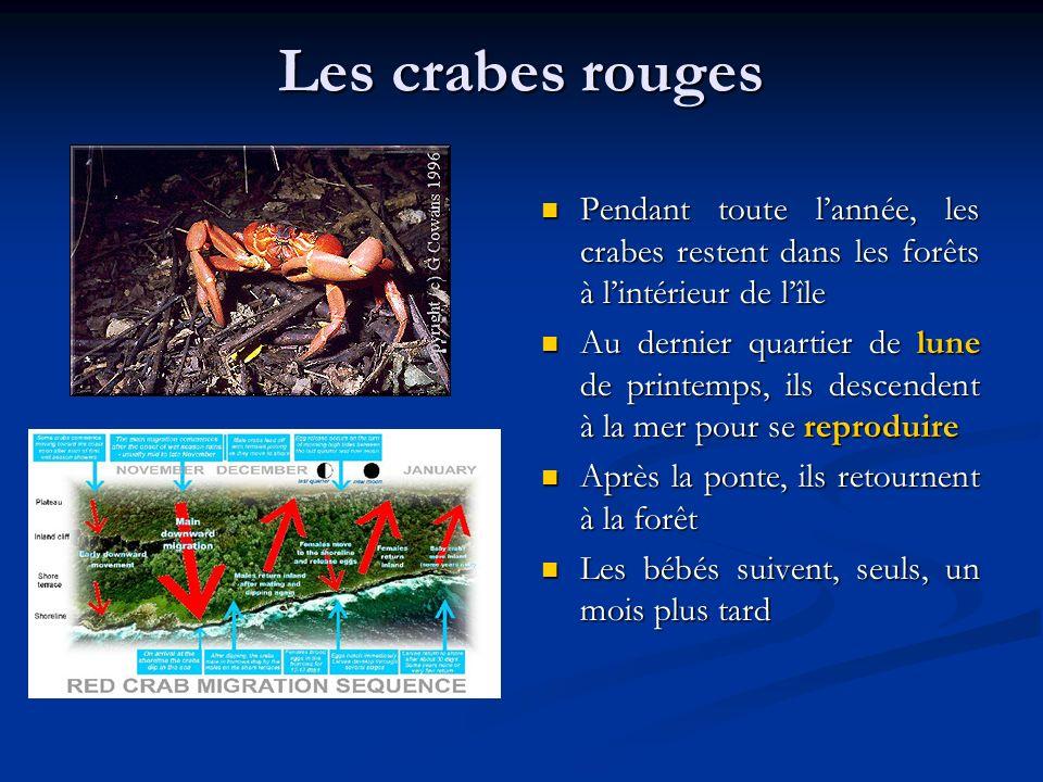 Les crabes rouges Pendant toute lannée, les crabes restent dans les forêts à lintérieur de lîle Au dernier quartier de lune de printemps, ils descende