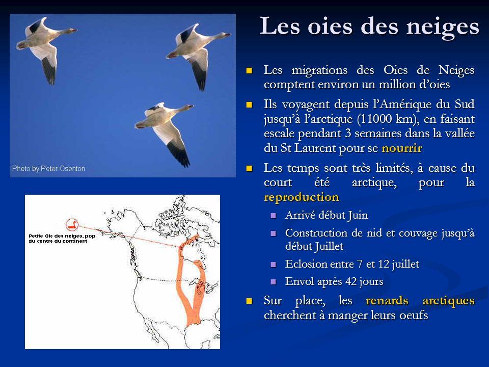 Les oies des neiges Les migrations des Oies de Neiges comptent environ un million doies Ils voyagent depuis lAmérique du Sud jusquà larctique (11000 k