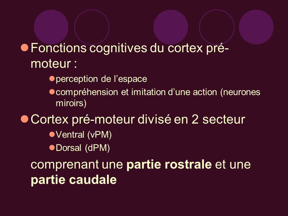 Fonctions cognitives du cortex pré- moteur : perception de lespace compréhension et imitation dune action (neurones miroirs) Cortex pré-moteur divisé