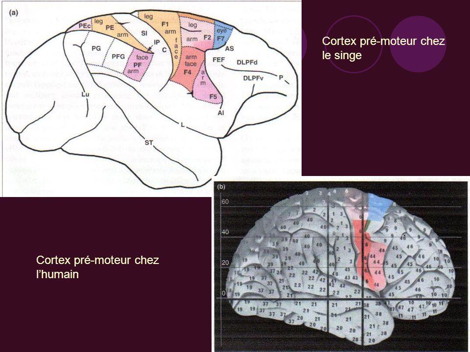 Cortex pré-moteur ventral chez les singes : Aire F4 = nœud dun circuit cortical permettant le mouvement du bras, du cou, de la face et de la bouche en réponse en fonction de la configuration de lespace péripersonnel Laire F4 code des actions à but précis, dans des localisations spatiales précises Transformation spatiale : activation des neurones de laire F4