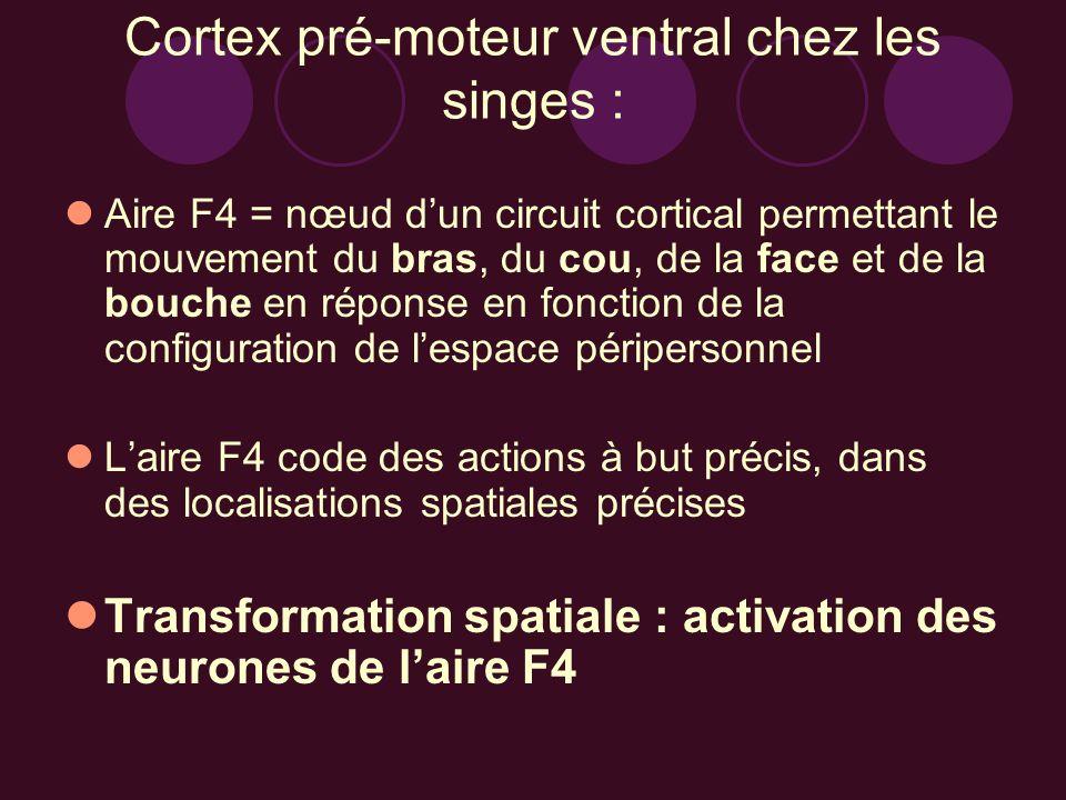 Cortex pré-moteur ventral chez les singes : Aire F4 = nœud dun circuit cortical permettant le mouvement du bras, du cou, de la face et de la bouche en