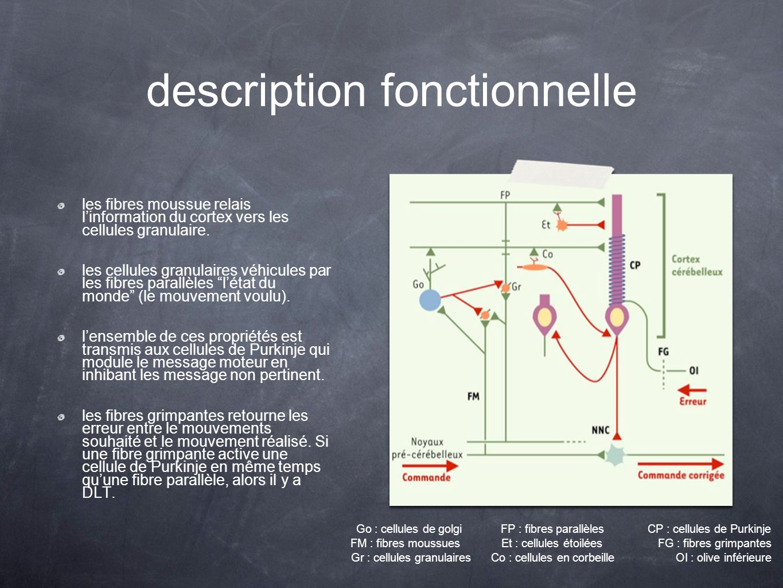description fonctionnelle les fibres moussue relais linformation du cortex vers les cellules granulaire. les cellules granulaires véhicules par les fi