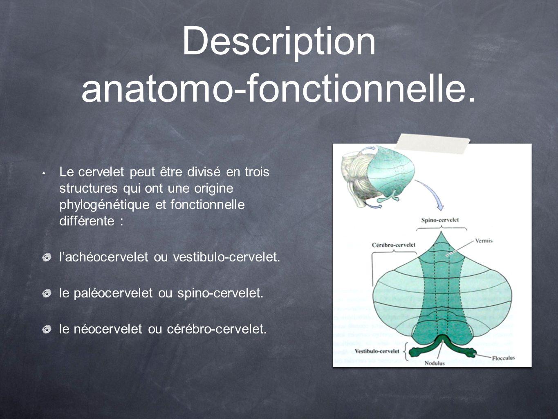 Description anatomo-fonctionnelle. Le cervelet peut être divisé en trois structures qui ont une origine phylogénétique et fonctionnelle différente : l