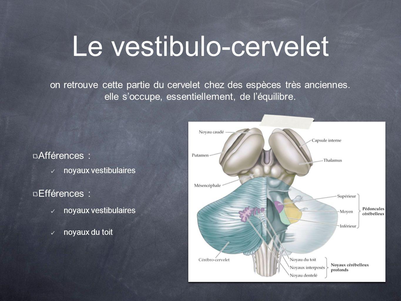 Le vestibulo-cervelet Afférences : noyaux vestibulaires Efférences : noyaux vestibulaires noyaux du toit on retrouve cette partie du cervelet chez des