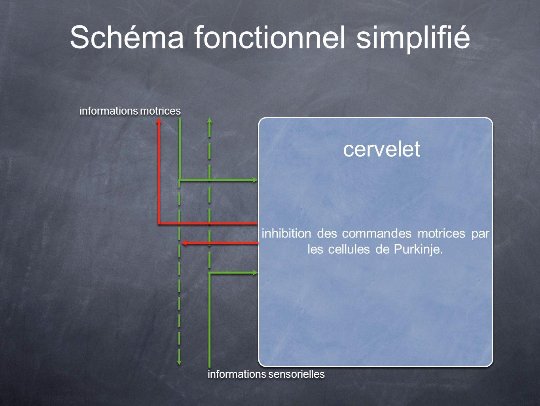 Schéma fonctionnel simplifié cervelet inhibition des commandes motrices par les cellules de Purkinje. informations motrices informations sensorielles