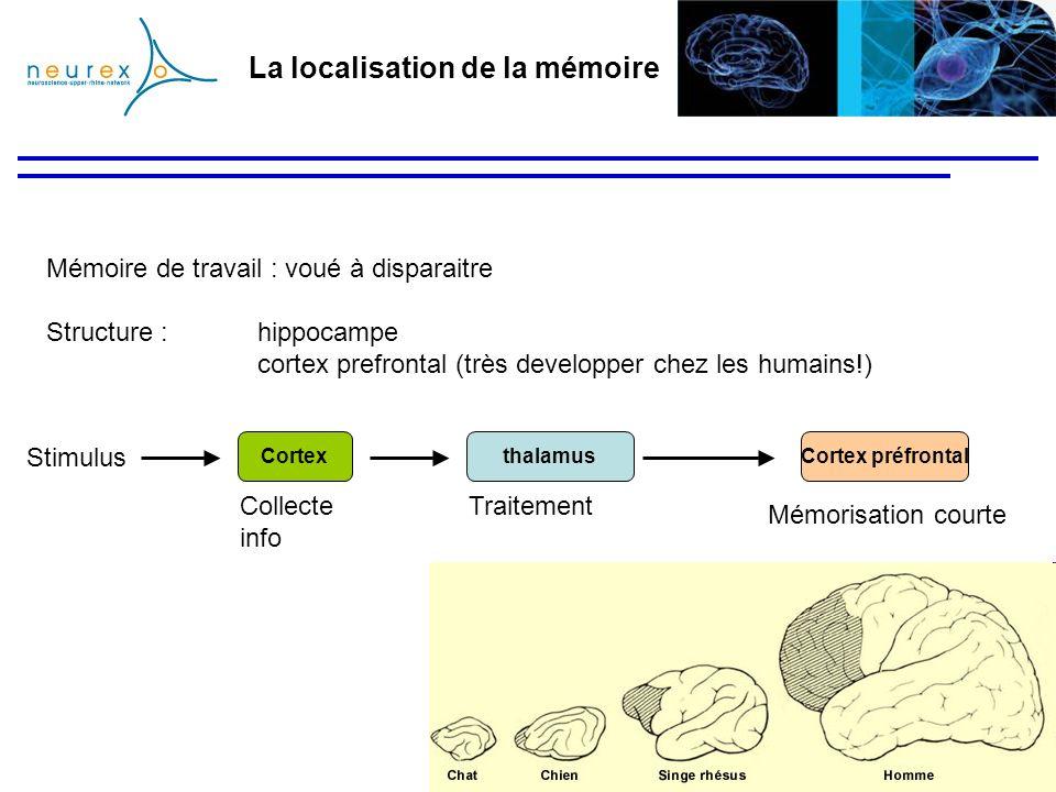 La localisation de la mémoire Mémoire de travail : voué à disparaitre Structure :hippocampe cortex prefrontal (très developper chez les humains!) thal
