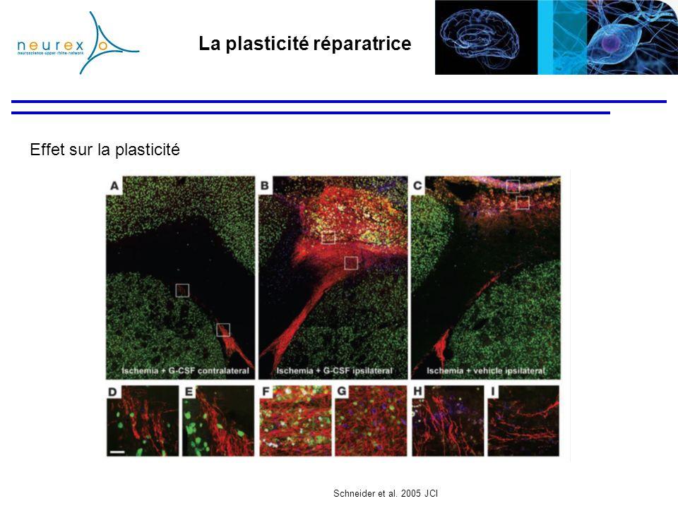 La plasticité réparatrice Effet sur la plasticité Schneider et al. 2005 JCI
