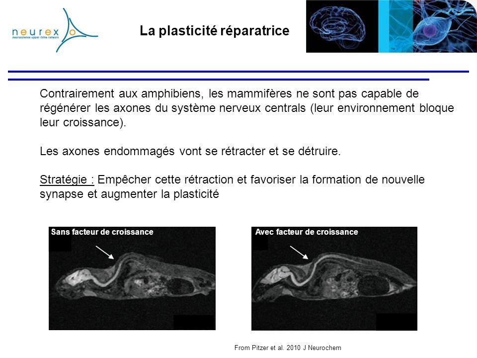 La plasticité réparatrice Contrairement aux amphibiens, les mammifères ne sont pas capable de régénérer les axones du système nerveux centrals (leur e