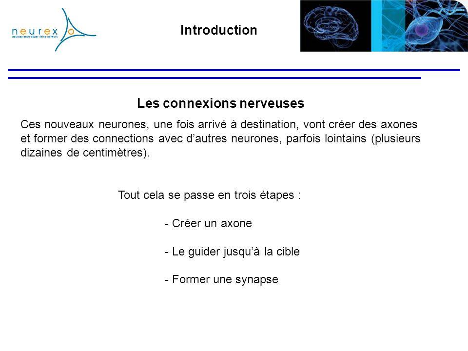 La plasticité réparatrice Exemple des dommages des nerfs Contrairement au CNS, les axones du système nerveux périphérique peuvent se régénérer car lenvironnement est différent.