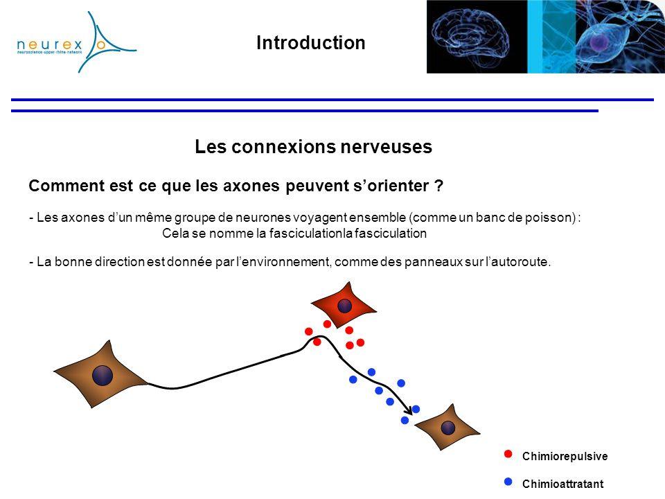 - La bonne direction est donnée par lenvironnement, comme des panneaux sur lautoroute. - Les axones dun même groupe de neurones voyagent ensemble (com