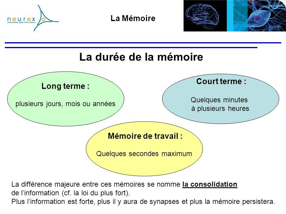 La durée de la mémoire La différence majeure entre ces mémoires se nomme la consolidation de linformation (cf. la loi du plus fort). Plus linformation