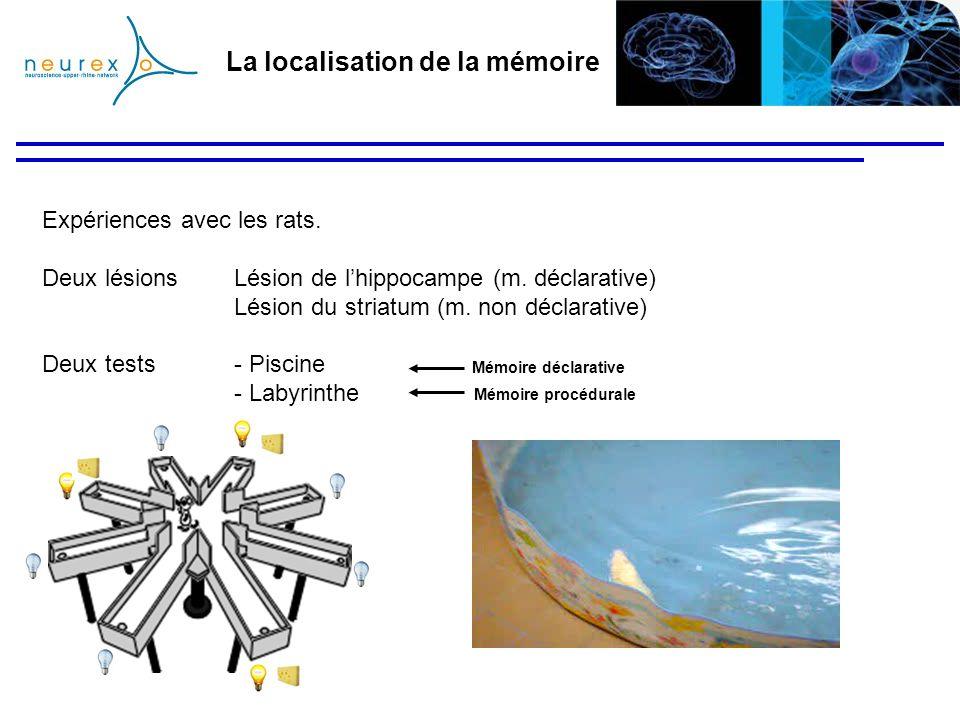 La localisation de la mémoire Expériences avec les rats. Deux lésions Lésion de lhippocampe (m. déclarative) Lésion du striatum (m. non déclarative) D