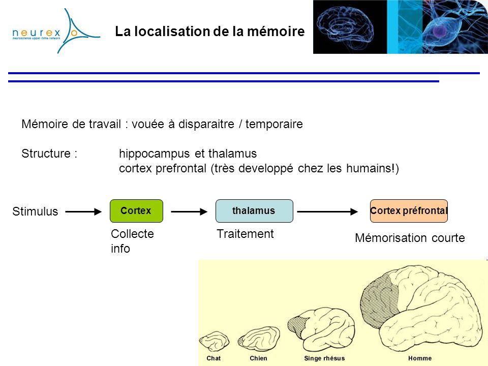 La localisation de la mémoire Mémoire de travail : vouée à disparaitre / temporaire Structure :hippocampus et thalamus cortex prefrontal (très develop