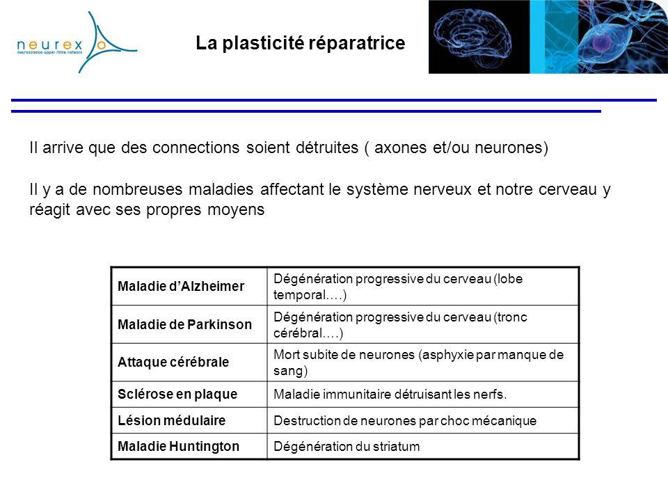 La plasticité réparatrice Il arrive que des connections soient détruites ( axones et/ou neurones) Maladie dAlzheimer Dégénération progressive du cerve
