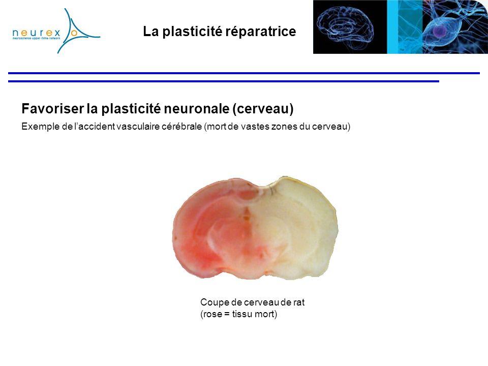 La plasticité réparatrice Coupe de cerveau de rat (rose = tissu mort) Favoriser la plasticité neuronale (cerveau) Exemple de laccident vasculaire céré