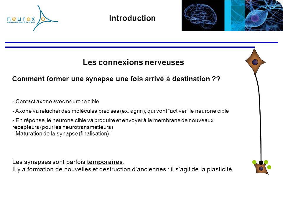 - En réponse, le neurone cible va produire et envoyer à la membrane de nouveaux récepteurs (pour les neurotransmetteurs) - Maturation de la synapse (f