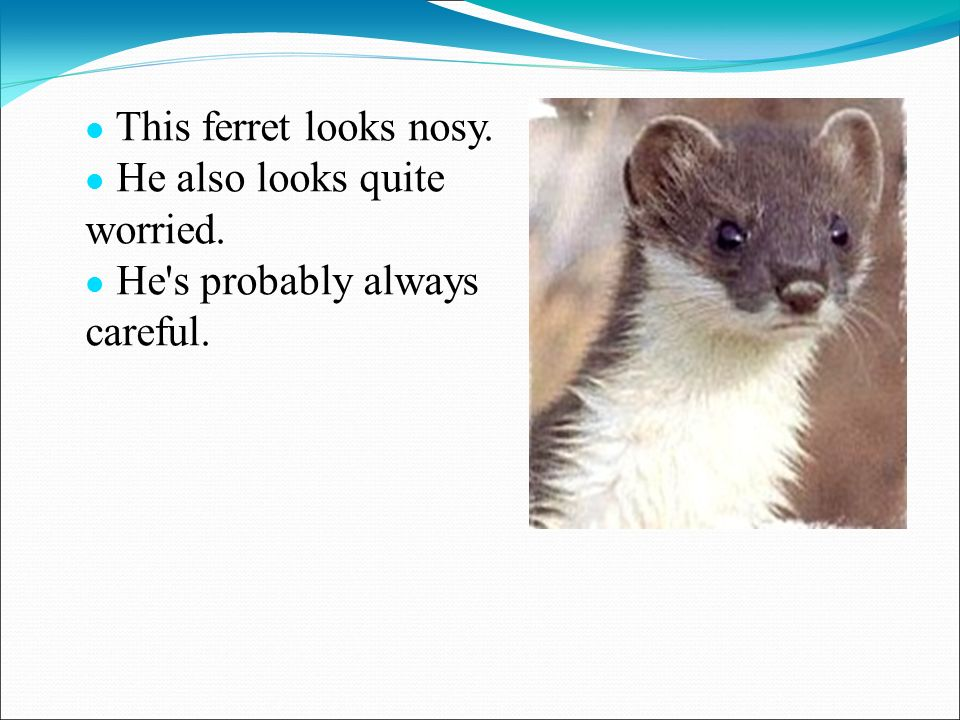 This ferret looks nosy. He also looks quite worried. He s probably always careful.