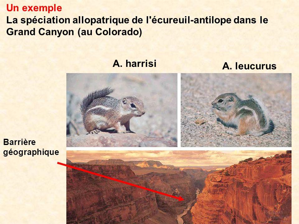 Un exemple La spéciation allopatrique de l'écureuil-antilope dans le Grand Canyon (au Colorado) A. harrisi A. leucurus Barrière géographique