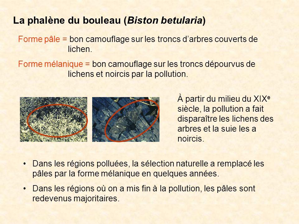 La phalène du bouleau (Biston betularia) Forme pâle = bon camouflage sur les troncs darbres couverts de lichen. Forme mélanique = bon camouflage sur l